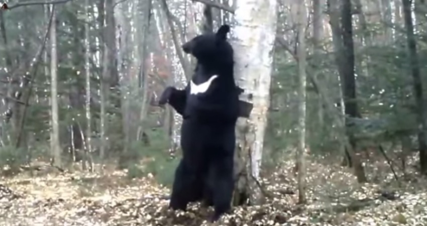 cámaras web oso bailarín