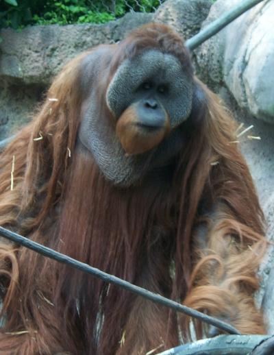 Orangután de Borneo | Ltshears (Dominio Público)