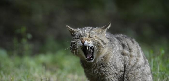 gobierno australiano busca matar a dos millones de gatos salvajes