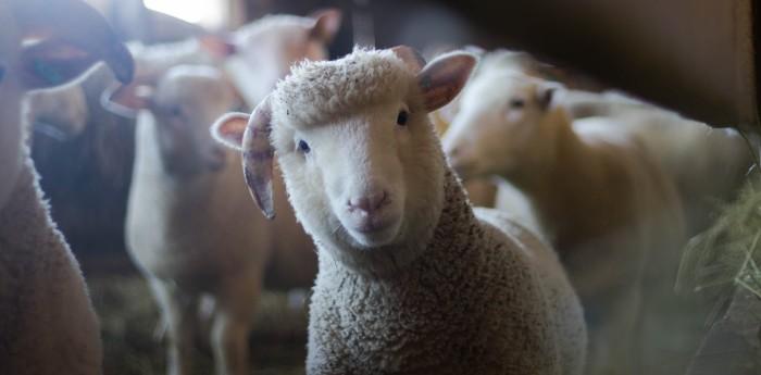 Inscriben 15 ovejas en colegio de Francia para evitar cierre de una clase