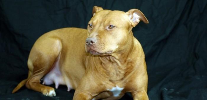 perro pitbull fue citado como testigo en juicio por maltrato animal