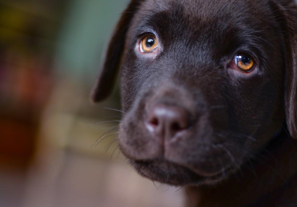 Perros desarrollaron músculo que simula estar tristes