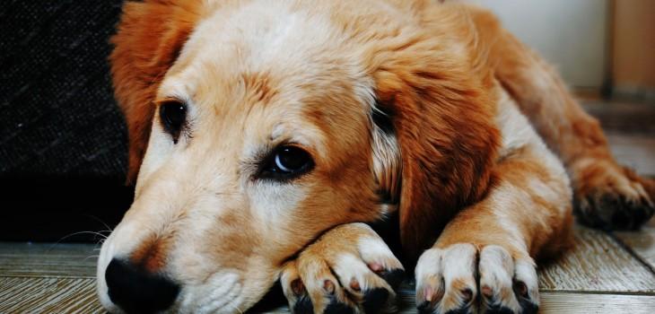 Perros desarrollaron músculo para comunicarse mejor con los humanos