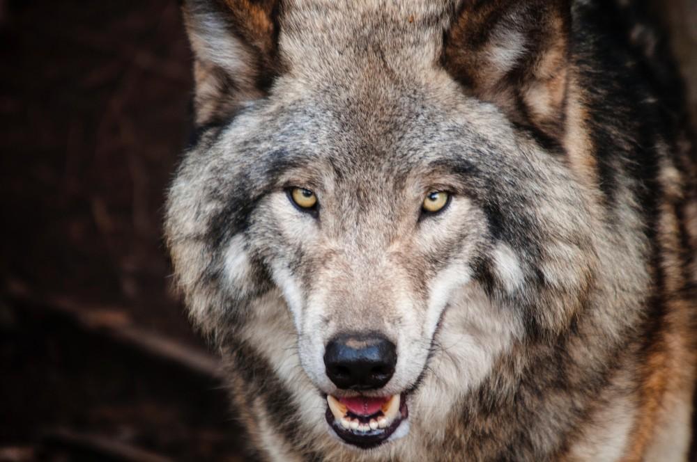 Lobo y perros