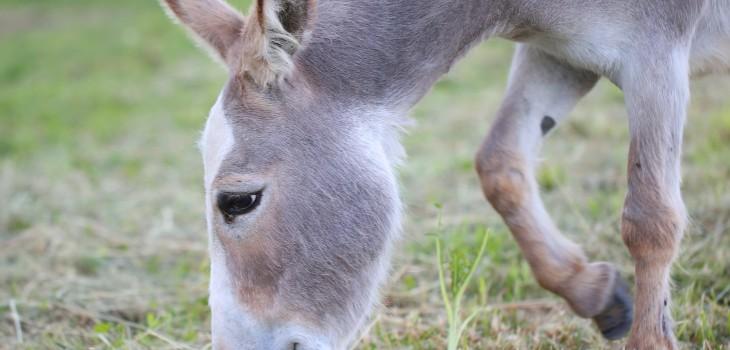 Maltrato animal a burro