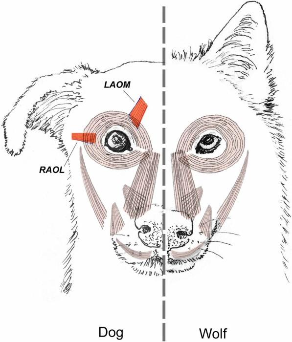 Perros desarrollaron músculo para comunicarse con humanos