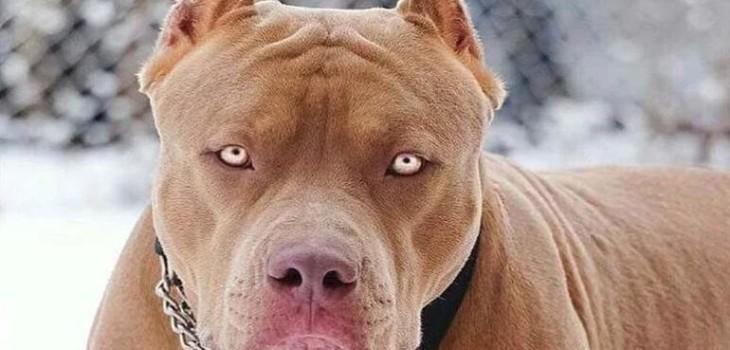 Ladrón atacado por dos perros pitbull se transformó en la 'víctima': ahora la dueña enfrenta cargos