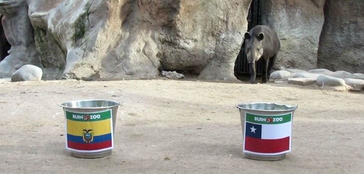 Tapir del Buin Zoo adivino quién gana en Chile Ecuador