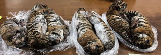 Hallan siete tigres congelados al interior de un automóvil de un traficante de animales en Vietnam