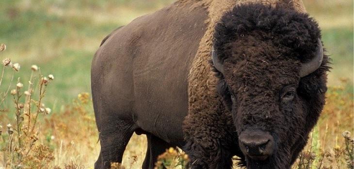 Captan ataque de un búfalo a niña de 9 años en un parque en Estados Unidos