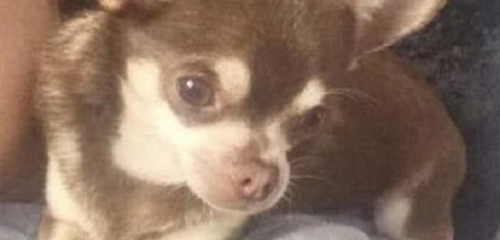 Una gaviota secuestró a un chihuahua desde un jardín en Inglaterra
