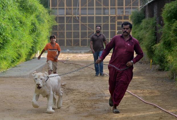 Leones como mascotas de gente adinerada en Pakistán