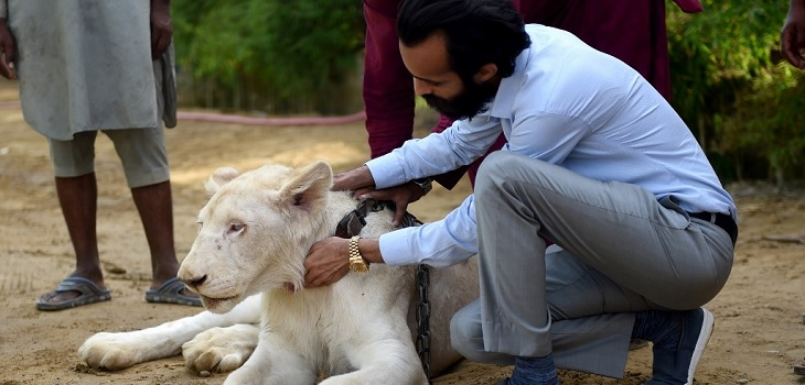 Leones como mascotas para la gente rica en Pakistán