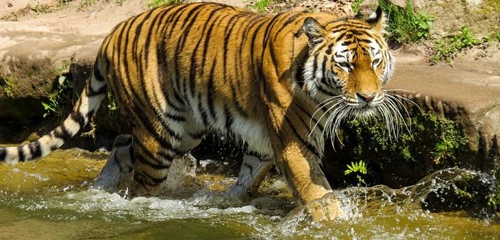 Tigre buscó refugió en vivienda debido a inundaciones que afectan su hábitat en la India