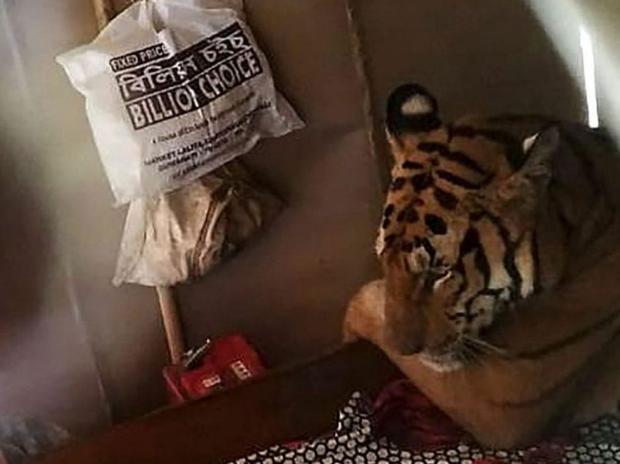 Tigre buscó refugio en vivienda debido a las inundaciones que afectan su hábitat en la India
