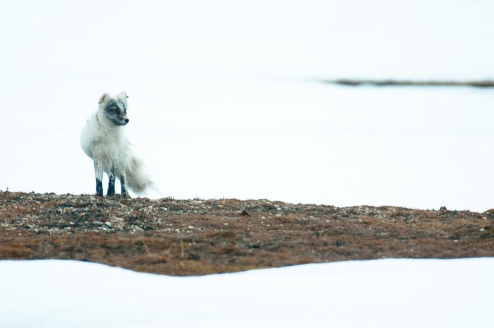 Histórica travesía de una zorra del Ártico