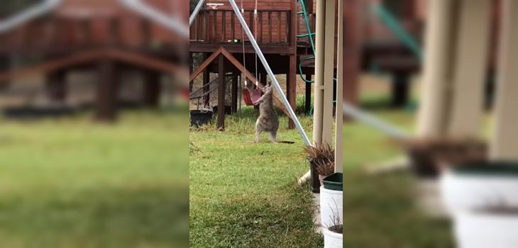 Canguro jugando con un columpio es el viral más tierno