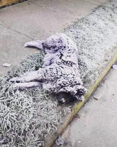La triste imagen que dejó los -5,8 grados en Osorno: perro murió y quedó cubierto de escarcha
