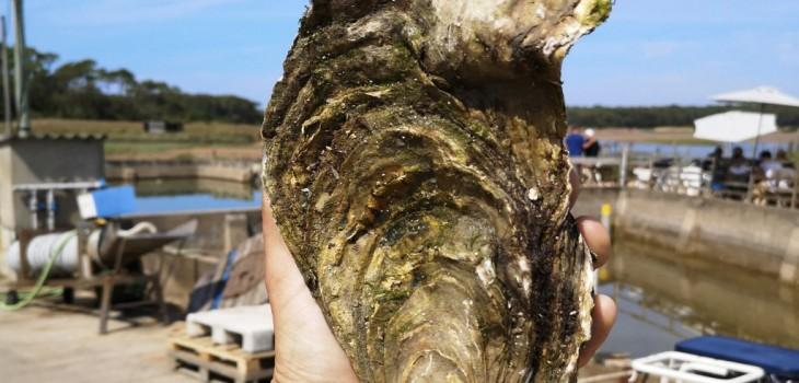 Hallazgo de ostra gigante