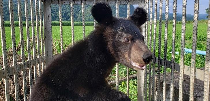 Rescatan a cinco osos asiáticos que estaban enjaulados: querían extraer sus bilis para comercializar
