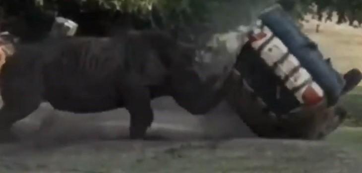 Captan a furioso rinoceronte embistiendo auto de safari: lo dio vueltas