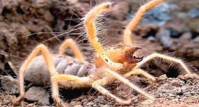 Científico descubren nuevo tipo de 'araña camello'