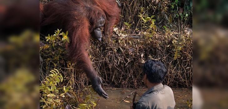 Imagen de orangután que intentó a ayudar a una persona se hace viral: se acercó a 'darle la mano'