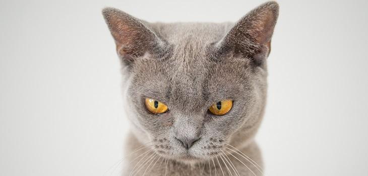Gato, gato enojado, gato estresado