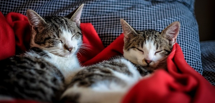 gatos coronavirus nueva york