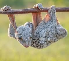 lemur volador es extraña criatura