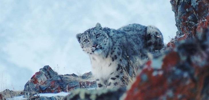 Leopardo de la nieve