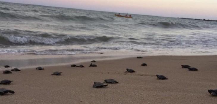 Nacen 103 tortugas en peligro de extinción en Brasil