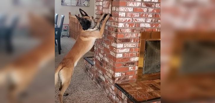 Perro juega a las escondidas