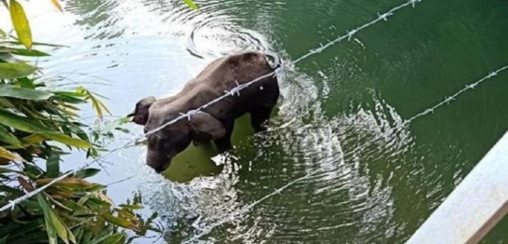 Polícia de India detuvo a una persona por la muerte de una elefanta que comió fruta con explosivos