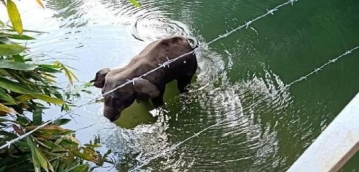 elefanta embarazada murió en India tras consumir fruta llena de petardos
