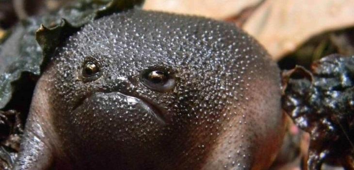 Rana negra de lluvia, palta enojada