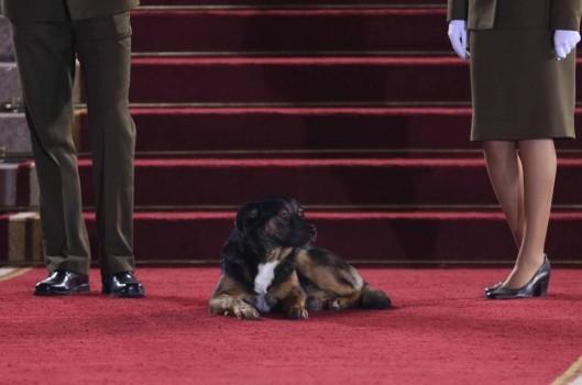 Un invitado infaltable: perrito llegó hasta entrada del Congreso previo a Cuenta Pública de Piñera