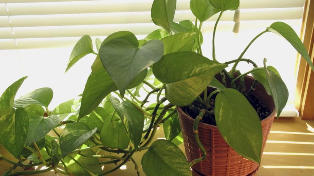 Planta pothus | Hogarmania