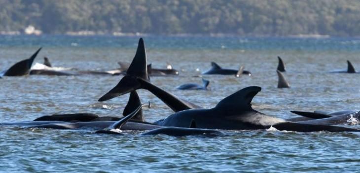 Socorristas australianos obligados a practicar eutanasia a ballenas varadas en la bahía de Tasmania