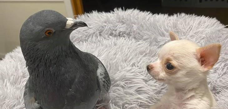 la historia viral de una paloma y un perro que unieron en una clínica para animales