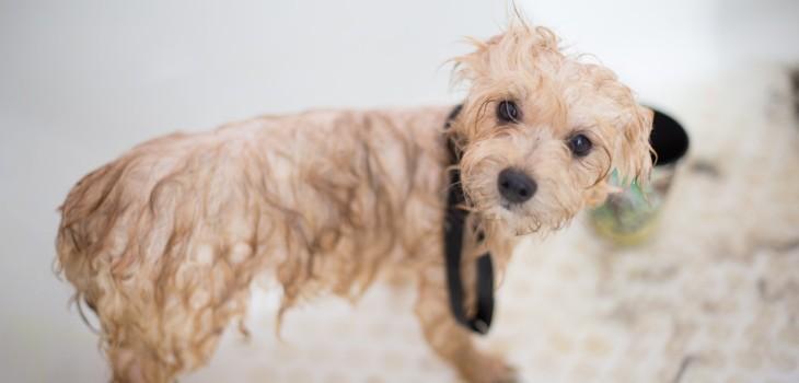 Con qué frecuencia y cómo deberías bañar a tu perro: