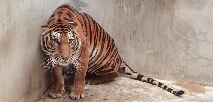 Hallan un tigre decapitado en un zoo de Tailandia sospechoso de participar en tráfico de animales