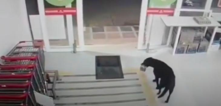 Perro entró a supermercado, robó comida y antes de salir se