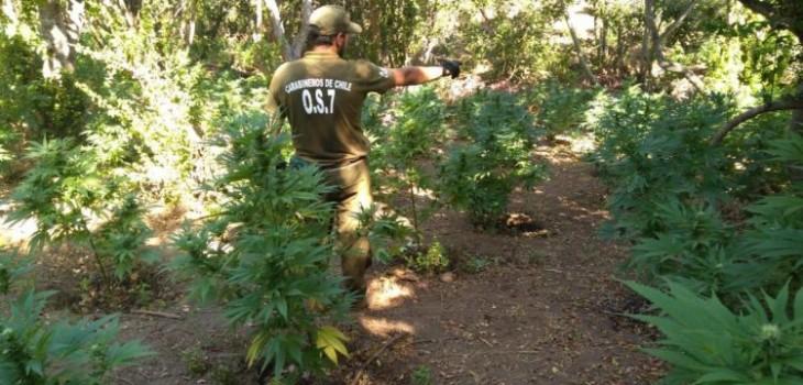 Decomisan más de mil plantas de marihuana en cinco canchas