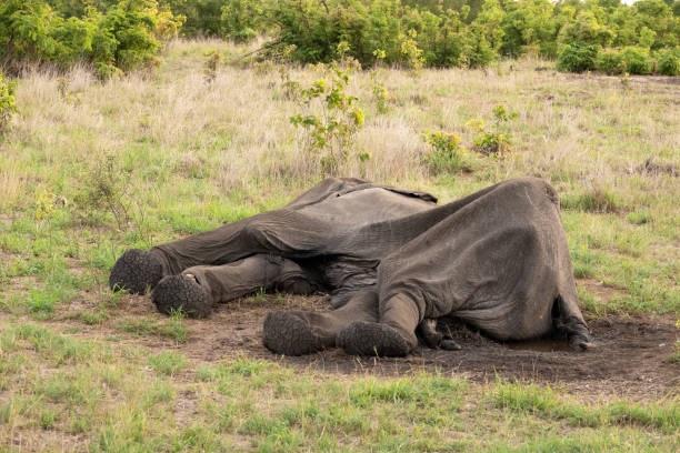 elefante muerto Zimbabwe