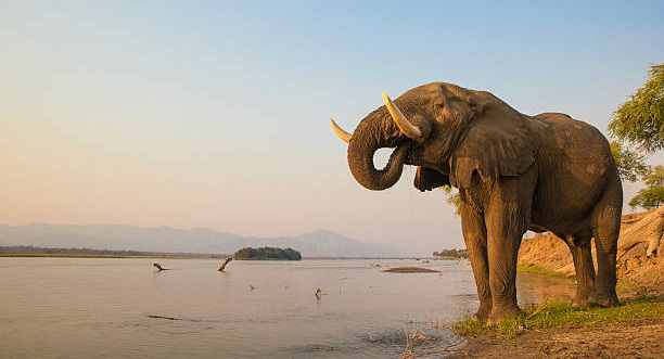 elefante Zimbabwe
