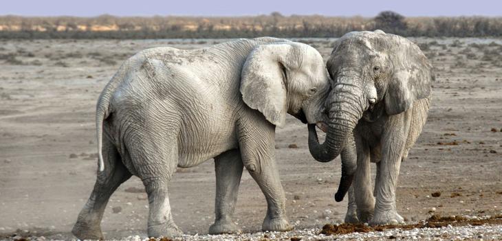 elefantes covid-19