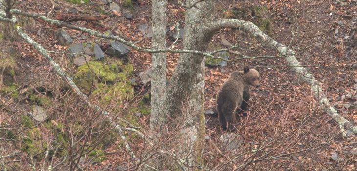 rescatan a hombre atacado por oso pardo