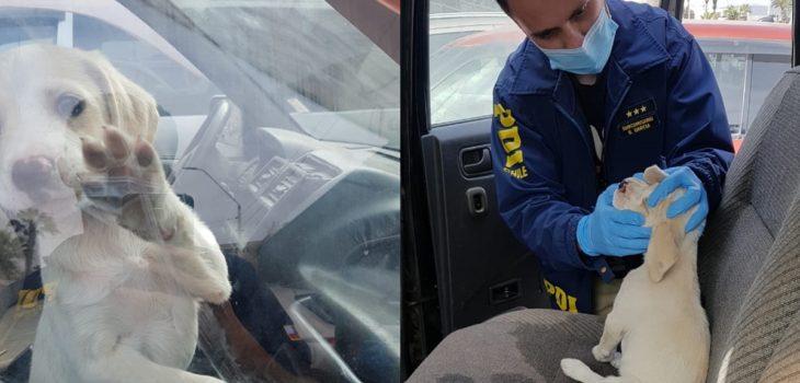 Cachorro permaneció horas dentro de vehículo en Arica: estaba deshidratado