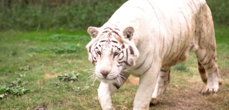 Tigre Niño Parque Safari